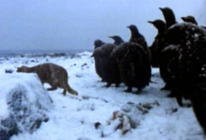 This is not a cat in New Zealand, but it is a cat in Antarctica with penguins, which is even weirder.